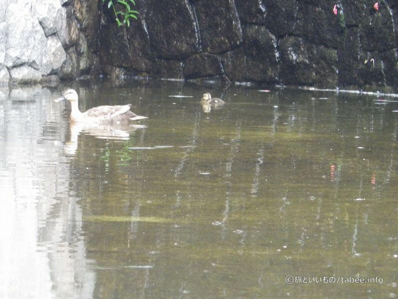 人造池には鴨の親子