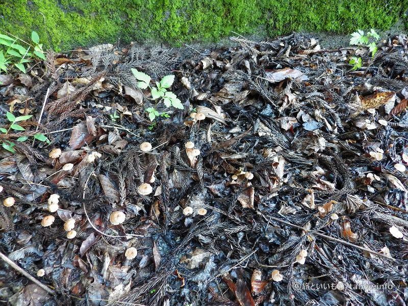 枯葉の中ですくすく育つキノコ