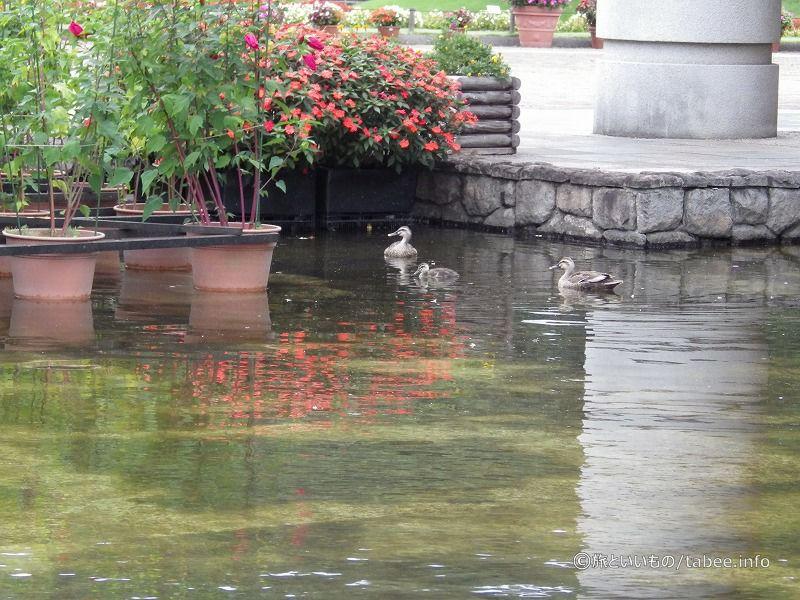3羽で泳ぐ鴨たち