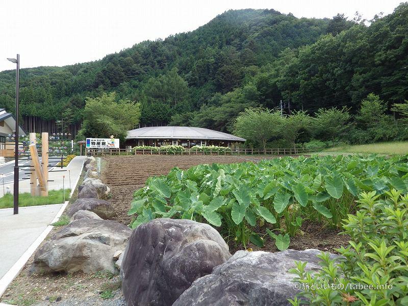 近くの畑にはサトイモが