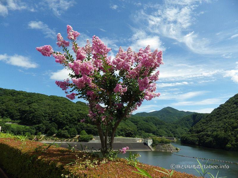 夏の花、サルスベリ