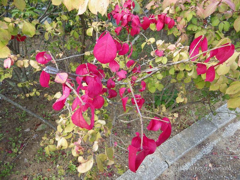葉っぱが花のように赤い