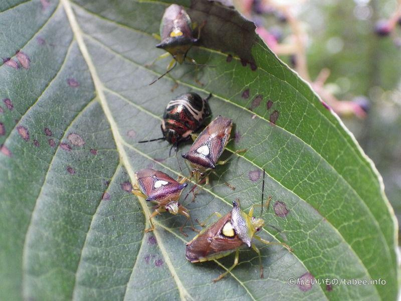モンツキノカメムシとアカスジキンカメムシの幼虫かな?