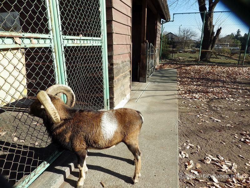 ちょっと珍しい羊の原種