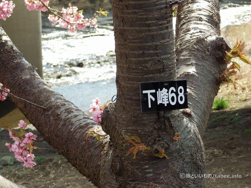 桜の木には名札がかかっています