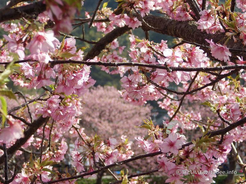 桜の向こうも桜
