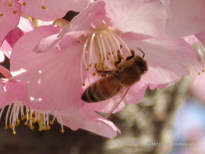 大忙しのミツバチ
