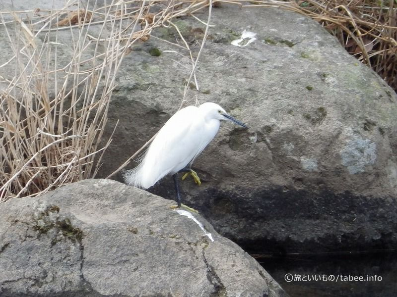 堰のそばには鷺がいました