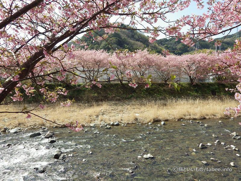 枯草の色と桜色の組み合わせ良いですね