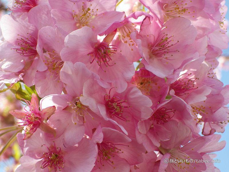 河津桜綺麗でした