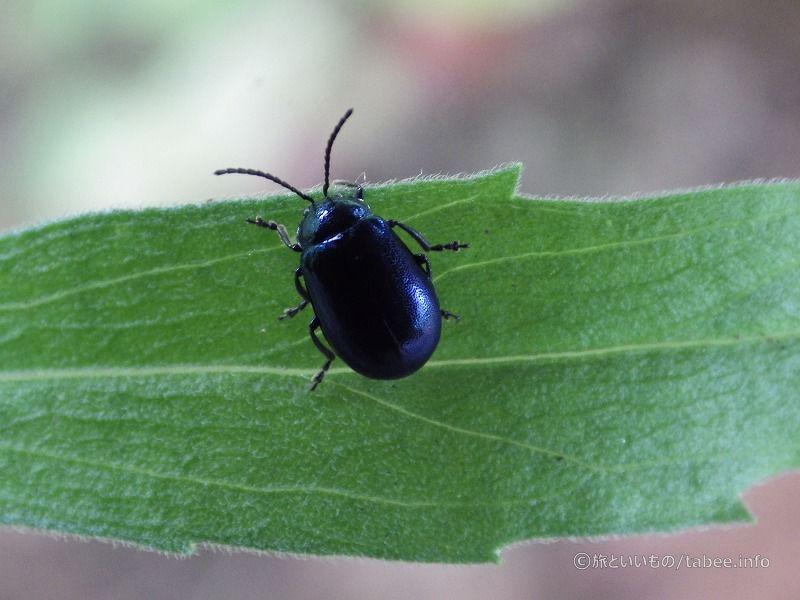青い光沢の小さな虫