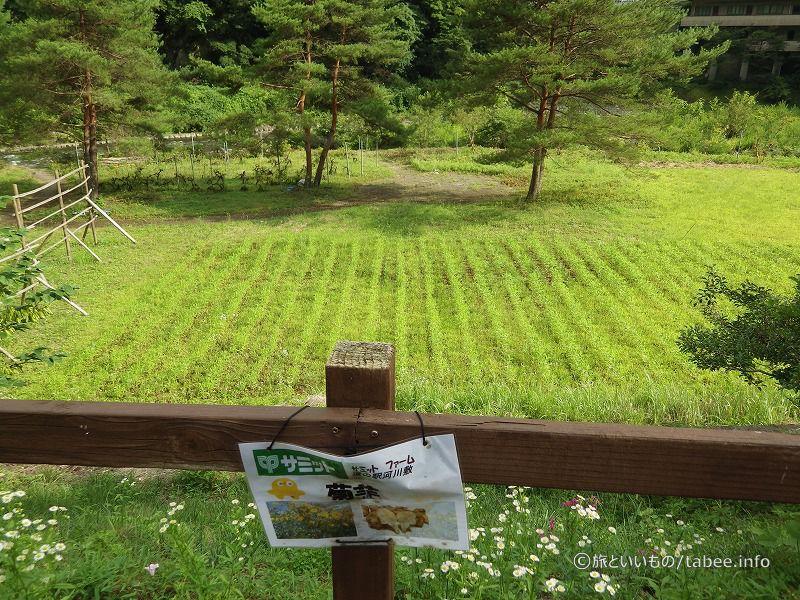 サミットの菊芋畑
