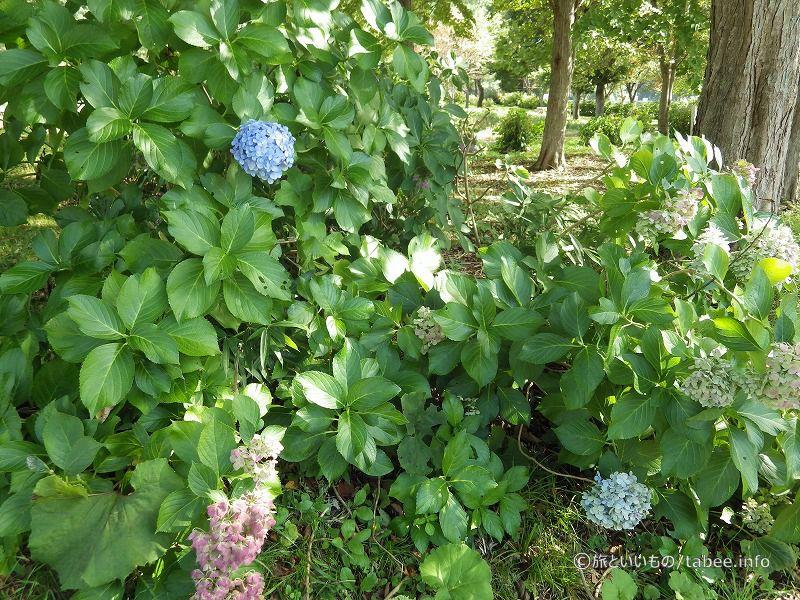 9月下旬ですがアジサイが咲いています
