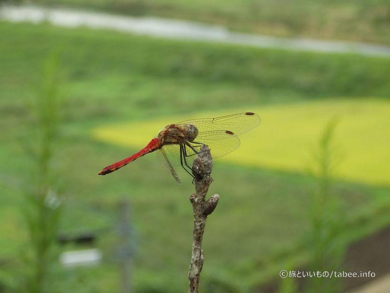田んぼの緑にトンボの赤が映えます