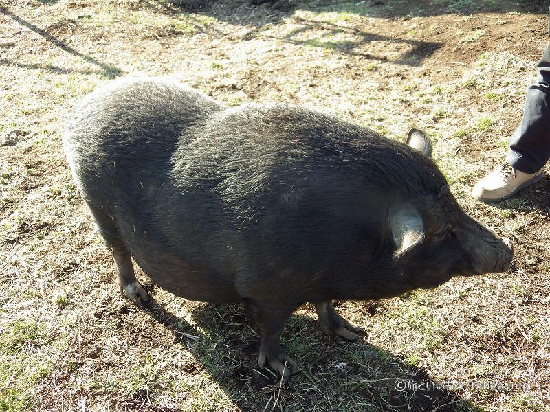 黒豚のカリーナちゃん