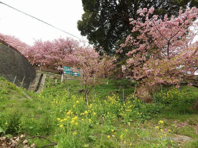 菜の花と桜が咲いています