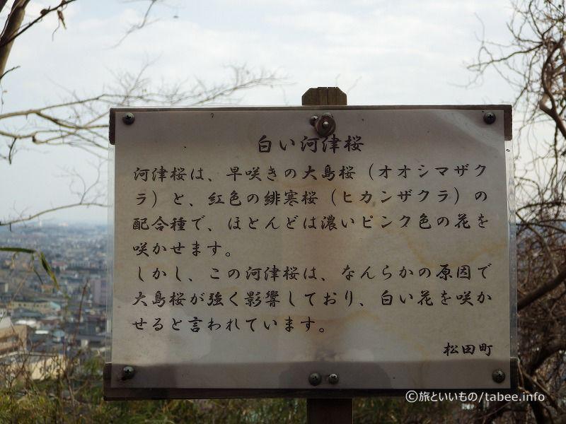 白い河津桜について