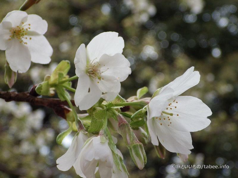 白い河津桜