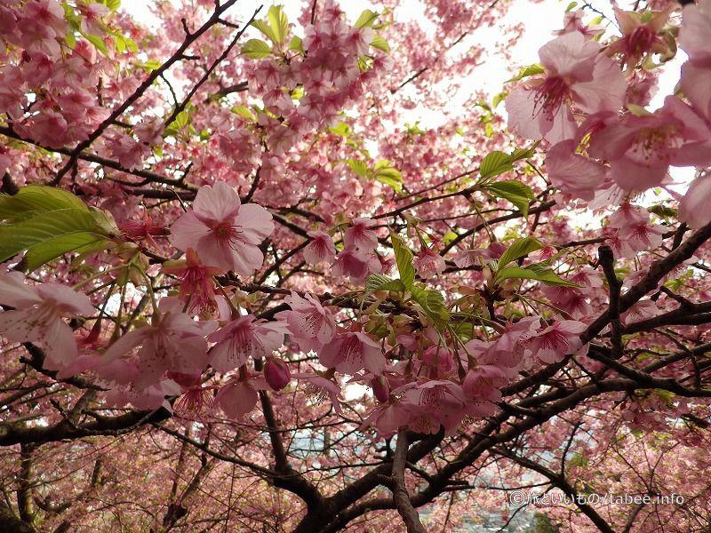 河津桜がもりもり