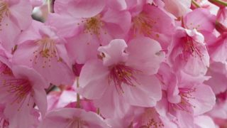 まつだ桜まつり 河津桜