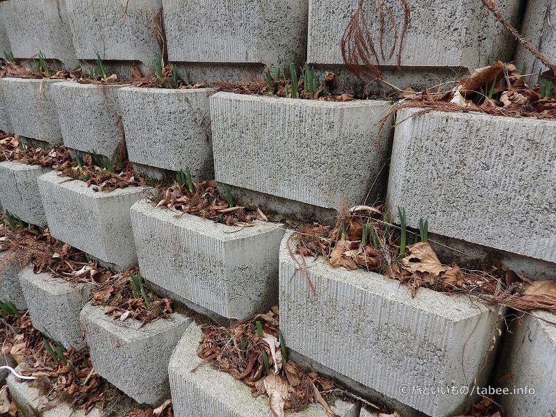 途中の壁には水仙が植えてありました