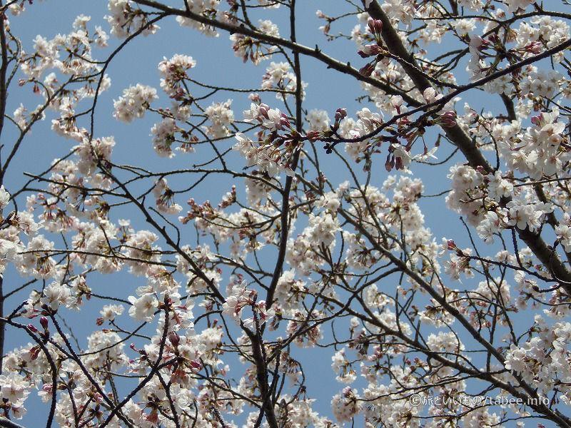 4月6日の桜の様子