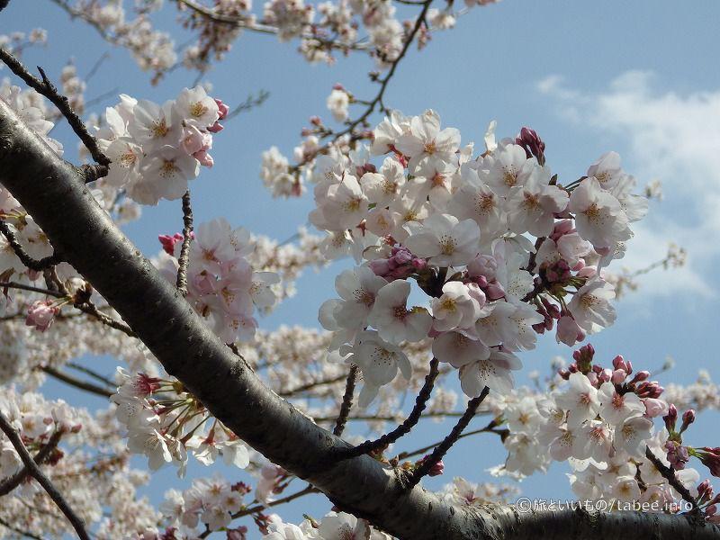 桜の開花雰囲気