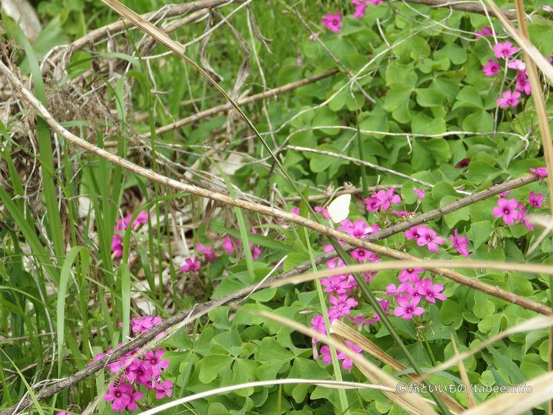 ベニカタバミがやたら咲いていました