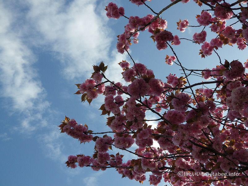 八重桜がきれいです