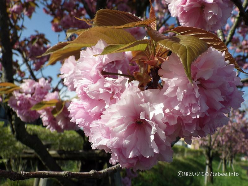 桜餅のような色合い