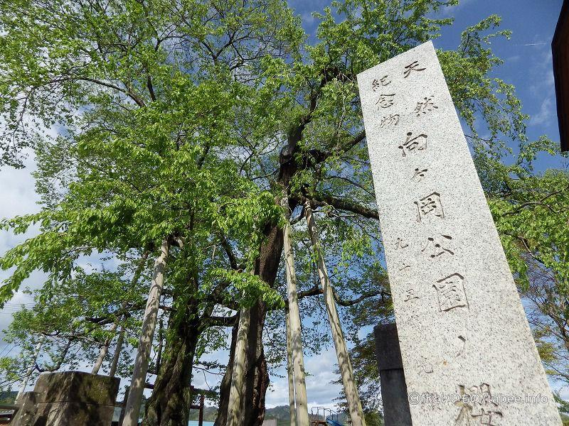 向ヶ岡公園の櫻