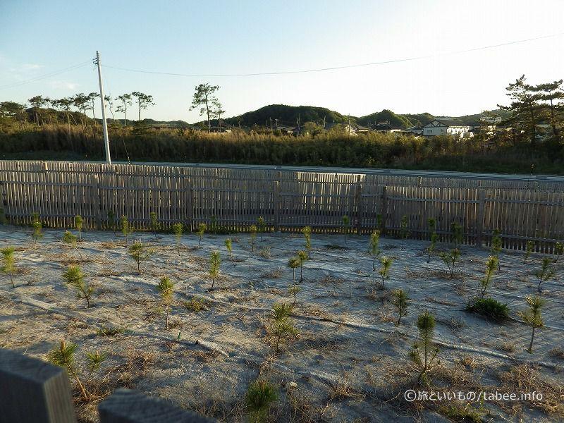 海岸防災林を育成中