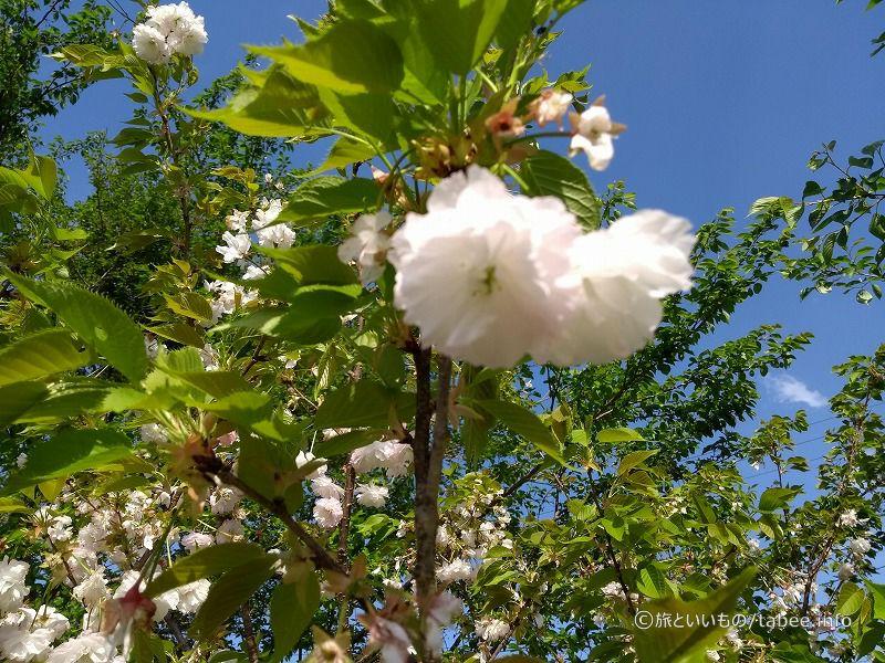 八重桜のようですがなんという名前でしょうか