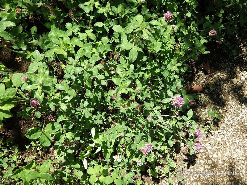 ムラサキツメクサやシロツメクサも咲いていました