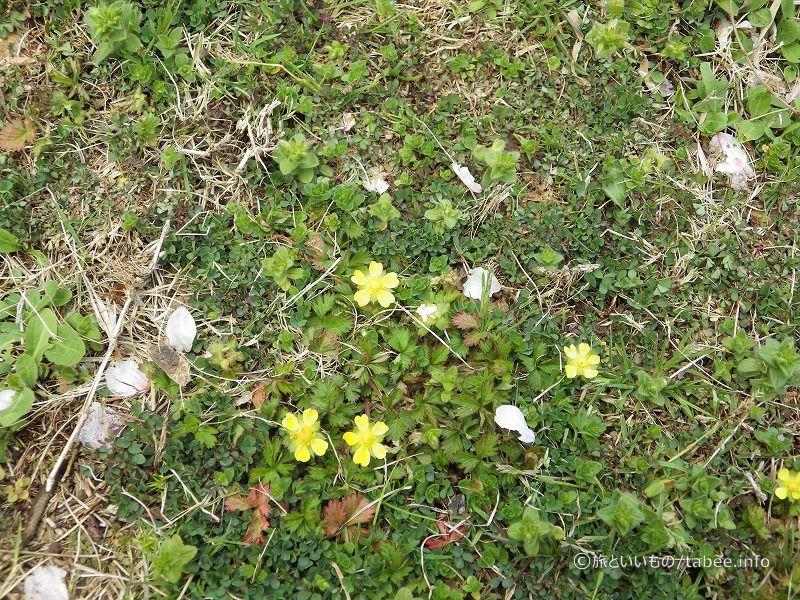 黄色い花はヘビイチゴ