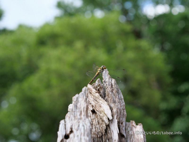 木の上のトンボ