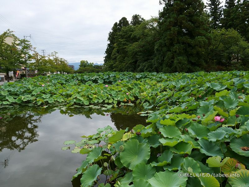 蓮の群生池
