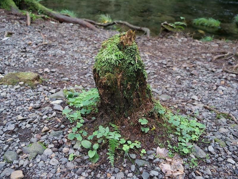 石ころ荒野に佇む緑の仲間たち